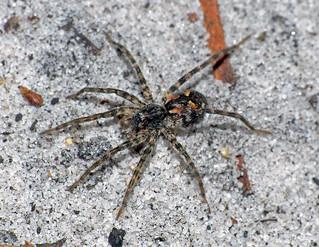 Spider perhaps Lycosidae Artoria species