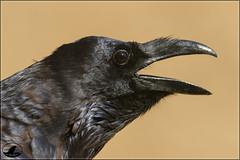 Cuervo (Jose A Amado Hidalgo) Tags: cuervo corvuscorax corvogrande corb erroia commonraven passeriformes paseriformes corvidos corvidae