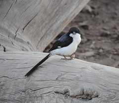 Long-tailed Fiscal (bartscott35) Tags: lifer africa bird fiscal amboselli laniidae