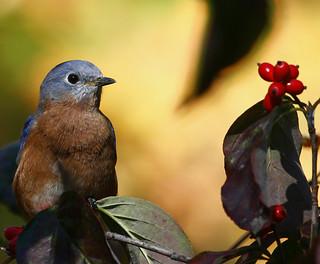 Eastern-Bluebird-297w