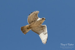Ferruginous Hawk