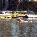 Bella fetching a stick in Tamarack Lake thumbnail