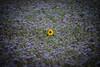 Be the one (Dynamo's World) Tags: flower blau blume blue wiese sunsflower sonnenblume gelb yellow