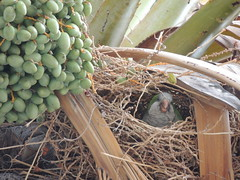 bird (P'ptje) Tags: palmtree palm spain nest parakeet bird