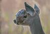 AngieLeftOctober2017 (jmishefske) Tags: wehr october nikon nature d500 center whitnall milwaukee franklin 2017 wildlife whitetail wisconsin tumor diseased park subcutaneous angie deer doe