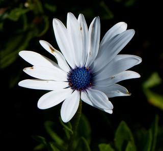Daisy flower - Nilgiris.