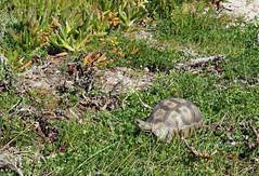 P9160013adj Angulate Tortoise (Joanna P Dale) Tags: westcoastnationalpark flowers southafrica omdem1 mk1 olympus 35mmzuiko 35mmmacro