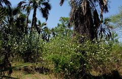 Xylotheca tettensis (zimbart) Tags: africa mozambique gorongosanationalpark flora angiosperms malpighiales achariaceae xylotheca xylothecatettensis habit
