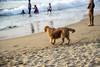 Keeping an eye (magiceye) Tags: dog beach malvan maharashtra konkan coast india street streetphoto travel