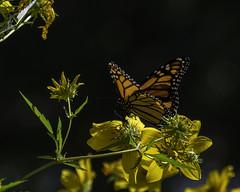 MonarchButterfly_SAF1399 (sara97) Tags: danausplexippus butterfly copyright©2017saraannefinke endangered insect missouri monarch monarchbutterfly nature outdoors photobysaraannefinke pollinator saintlouis towergrovepark