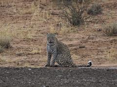 PA042515 adj Leopard (Joanna P Dale) Tags: kgalagaditransfrontierpark matamata olympus omdem1mkii panasonic100400 africanleopard leopard