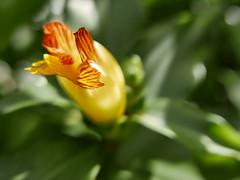 insulin plant (Costus igneus plant) (DOLCEVITALUX) Tags: insulinplant plant flora fauna flower flowers lumixlx100 panasoniclumixlx100 medicinalplants philippines ayurvedamedicine