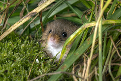 Harvest Mouse, CaptiveLight, Ringwood, Hampshire, UK