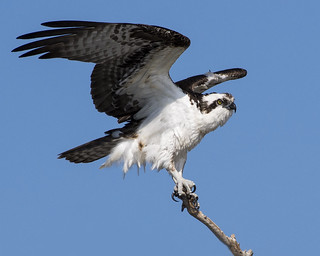 Osprey (Carole's)
