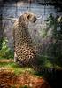 Namibia (mokyphotography) Tags: africa namibia ghepardo ghepardi cheetah otjilotongwe parco park anima animals wild wildlife felini felines canon