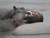 Hippo with overgrown tusk (David Bygott) Tags: africa tanzania natgeoexpeditions 171008 serengeti mara river hippo tusk deformed