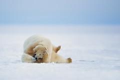Polar Bear Cubs (Outback Photo Adventures) Tags: polar bear usa united states nature wildlife arctic animal arcticnationalwildliferefuge refuge national nationalwildliferefuge winter canon canon1dxmarkii 1dxmarkii 1dx 1dxii kaktovik alaska unitedstates us