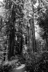 Walk in the Redwoods (billbelcher1) Tags: redwoods redwood trees trail path relaxing