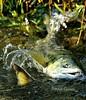 Spawning Time (bonniecairns1) Tags: salmon spawning nature wild wildlifephotography naturephotography fish nikonphotography bonniecairns canada coquitlam beautifulbritishcolumbia amazing instinct lifecycle struggle outdoors water stream