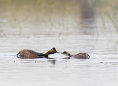 Mom and Chick (trekok, enjoying) Tags: c31a1095 2 grebe eared wy chick