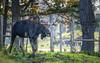 Parc Omega : October 22, 2017 (jpeltzer) Tags: ottawa parcomega quebec fall autumn fallcolours wildlife moose