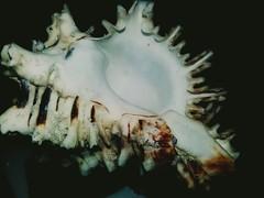 Concha (cristianvillegas1) Tags: concha mar caracola night
