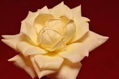 A Simple but Perfect Rose (npbiffar) Tags: flower macro plant white yellow rose npbiffar serene calming 150mm sigma d7100 nikon