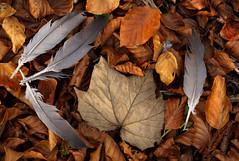 The Fallen (Alan MacKenzie) Tags: death autumn leaves fall maple beech bird woodland