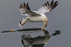 The art of skimming (bodro) Tags: bolsachica bird birdphotography droplets ecologicalreserve gull reflection shallows skimming splash spread tail wetlands wingsup