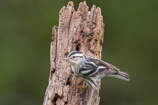 Black and White Warbler 070617b copy