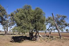 Supplejack (oz_lightning) Tags: australia blackalladavaleroad canon6d canonef1635mmf4lis eucalyptus myrtaceae qld rhamnaceae swqld ventilago landscape nature blackall queensland aus