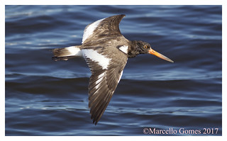 American Oystercatcher (Haematopus palliatus) AMOY - Lil Oystercatcher Fly By