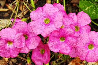 Oxalis in pink