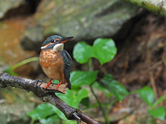 Common Kingfisher (ChongBT) Tags: nature natural bird outdoor avian common kingfisher alcedo atthis bengalensis malaysia bluegreen