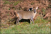 Muntjac and Friend (image 1 of 2) (Full Moon Images) Tags: rspb sandy lodge thelodge wildlife nature reserve bedfordshire animal mammal bird muntjac deer magpie