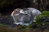 Mountain Hare (Martial2010) Tags: mountain hare angus glen scotland canon