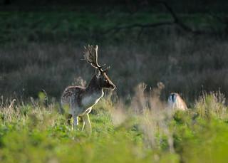 Fallow Deer DSC_0595