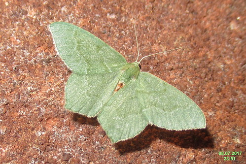 Common emerald (BG)