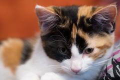 Florence (Evoljo) Tags: cat pussy florence fur kitten eyes tabby nikon d500