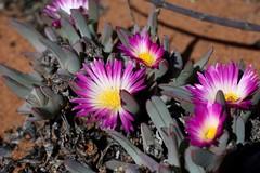 Antimima ventricosa = Ruschia ventricosa (Aizoaceae)