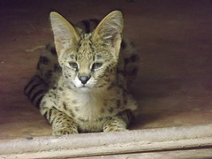 "Serval Cat • <a style=""font-size:0.8em;"" href=""http://www.flickr.com/photos/152934089@N02/23762169788/"" target=""_blank"">View on Flickr</a>"
