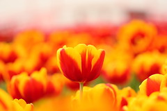 IMG_2464M Tulip, チューリップ, 鬱金香 (陳炯垣) Tags:
