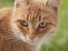 Fanny Ginger, diva (designerus) Tags: ginger cat animal fanny pet catography girl diva