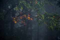 autumn (sedregh (off for some days)) Tags: eifel herbst autumn fall eiche oak tree baum nebel fog mist landschaft landscape