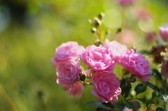 Pink delight (Baubec Izzet) Tags: baubecizzet bokeh pentax flower roses nature
