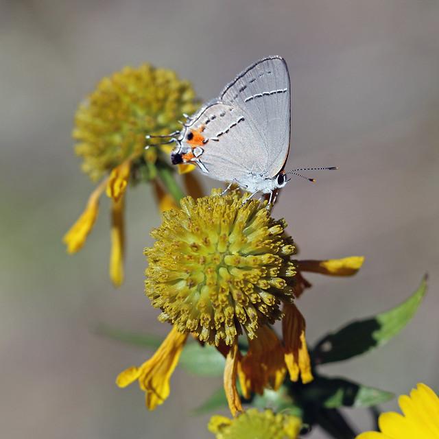 Gray Hairstreak (Strymon melinus) image