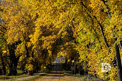 Fall Leaves Flurry #376 (DBruner240) Tags: cottonwoods trees fall colors falling leaves october nd north dakota western country road trail canopy ngc national geographic