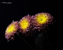 Blooming Brightly 1001 Copyrighted (Tjerger) Tags: nature beautiful beauty black blackbackground bloom blooming blooms brightly closeup fall flora floral flower flowers glow green macro mum pink plant portrait purple three trio wisconsin yellow mums natural