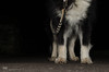 night walk  44/52 (sure2talk) Tags: nightwalk taivas finnishlapphund nikond7000 nikkor1855mmf3556afs flash speedlight sb900 softbox diffused night we5112017 52weeksfordogs 4452