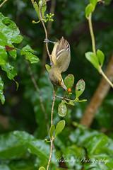 Irresistible (Kiskadee Photography) Tags: vireo mangrove belize crookedtree centralamerica bird birding birder ornithology ornithologist
